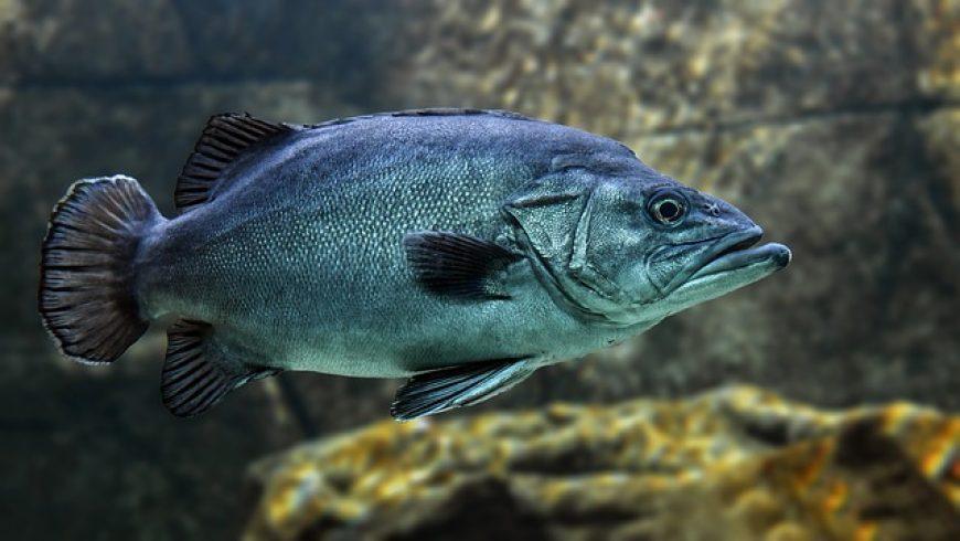 Ryby žijúce v toku z čistiarne odpadových vôd majú zmenené správanie